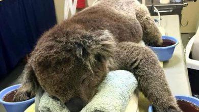 La mitad de la población sana de koalas ha muerto por megaincendios.