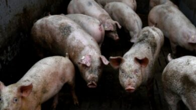 Aunque el nuevo virus G4 ya pasó de cerdo a humano, todavía no se logra confirmar el contagio de humano a humano, lo que mantiene las alarmas encendidas