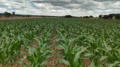 Photo of Afecta escasez de lluvias a productores de temporal